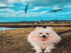 本溪本犬舍出售品相好的狗狗,支持全国发货,也可以视频挑选