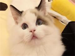 本溪双血统 布偶猫