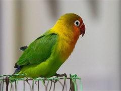 喀什本地出售觀賞鳥種類繁多