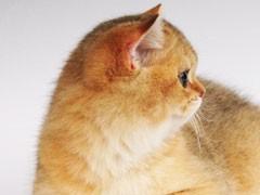自家貓舍繁育短毛貓 包純種 包健康