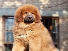 榆林纯种哈士奇幼犬 狗狗出售 可签协议质保健康