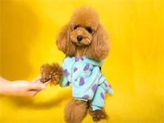 宠物店和狗市里的泰迪犬可以买 健康的钱一只