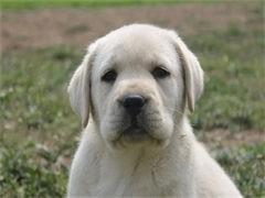 拉布拉多幼犬钱 拉布拉多好养 拉布拉多里有卖