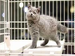 喀什正規貓舍出售美短 藍貓 金吉拉 加菲等
