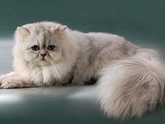 本地猫舍出售各类宠物猫 爱宠一家把萌宠带回家