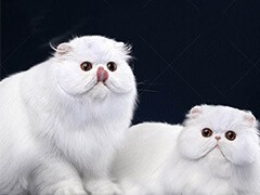池州本地猫舍出售各类宠物猫 爱宠一家把萌宠带回家
