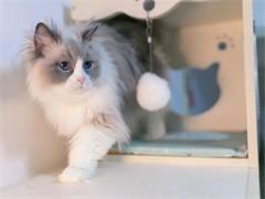 加菲猫幼崽出售 异国短毛猫 专业CFA猫舍猫屋