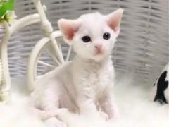 深圳高颜值白甜可爱的无毛猫出售 健康黏人好养活