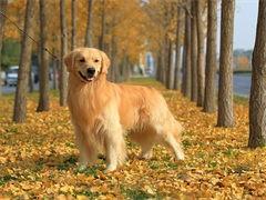 宠物店里的金毛犬可以买 健不健康