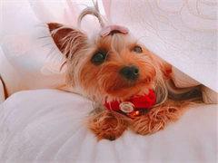 十堰宠物繁殖基地长期出售秋田幼犬 保证品质健康