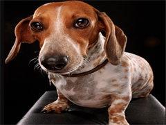 冠軍后代雙血統臘腸犬一窩 證書可查可以看狗父母