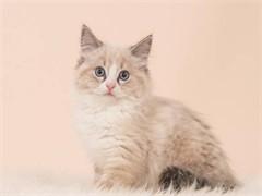 西安出售布偶金银渐层 缅因美短蓝猫