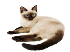 本溪CFA专业猫舍 纯血统德文卷毛猫 完美品相包养活