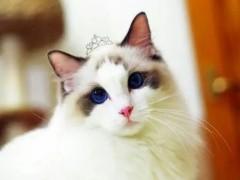 深圳纯正英短优质品种,大包子脸蓝猫出售,疫苗已经做完