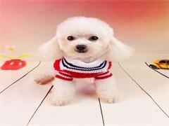 超小體韓系泰迪寶寶顏色均有 多只待售 協議售保
