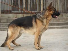 纯种的德国牧羊犬黑背适合小孩养 性格样