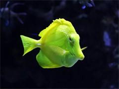 杭州出售品相好的錦鯉魚