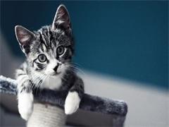 宠物猫美短猫咪出售 武汉地区特价出售美短猫 送豪礼