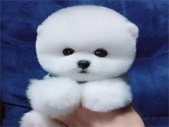 宣城本犬舍出售品相好的狗狗,支持全国发货,也可以视频挑选