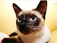 畢節矮腳貓舍 專注繁育甜美系短腿貓