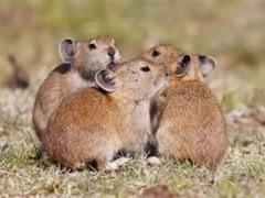 急出一批垂耳兔猫猫兔种兔,好品种低价格还有侏儒兔本