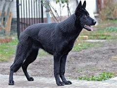 全国连锁双血统德国牧羊犬繁殖基地 本地可上门