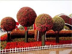 绿化用的樟树或者家用都可以