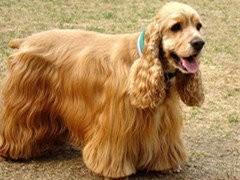 極品 可愛的可卡 性情溫和的狗狗