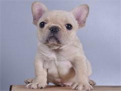 自家大狗生的一窝法国斗牛犬可以来家里看大狗品相