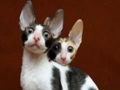 宣城高颜值白甜可爱的拿破仑出售 长毛高地矮脚猫
