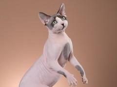 赤峰猫舍出售矮脚猫 网红同款 贴地矮 胖虎无癣