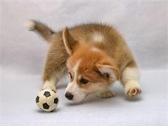 宠物店里的柯基犬可以买 健不健康