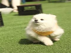 杭州本犬舍出售品相好的狗狗,支持全國發貨,也可以視頻挑選