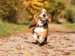 赤峰博美 泰迪 杜高幼犬 保证纯种健康 签订活体协议 包退换