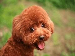 純種茶杯泰迪犬丨血統純正健康包活丨簽署質保合同
