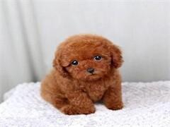 韓系小體泰迪犬 長期繁殖出售 隨時可上門來看現