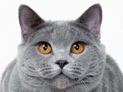 贵州贵阳纯种双血银渐层幼猫特价转让