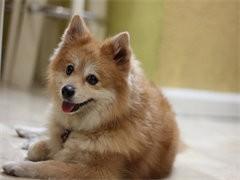 深圳专业繁殖博美幼犬,纯种哈多利球体博美 公母都有