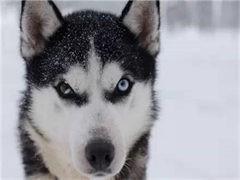宠物店和狗市里的哈士奇可以买 健康的钱一只