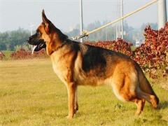 赤峰繁育基地直销纯种泰迪犬 博美 拉布拉多犬 金毛犬