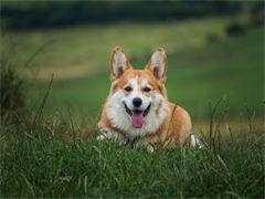 纯种的柯基犬适合小孩养 性格样
