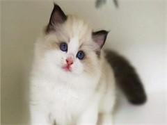 本溪猫舍专业出售各类纯种幼猫