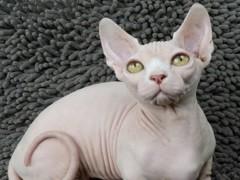 岳阳猫舍专业出售各类纯种幼猫