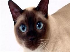 贵阳萌宠双色布偶猫 身体健康活泼可爱 品质有保障