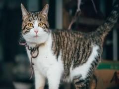 赤峰出售折耳猫 金吉拉 多只可选 保证健康
