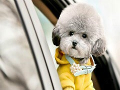 韩系萌宠泰迪犬幼犬 酒红色咖啡色黑色灰色香槟