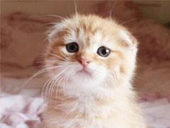 高品質英短銀漸層貓咪折耳貓銀漸層 找新家
