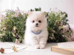 本溪优质宠物狗繁殖基地长期出售宠物幼犬 保证品质健康