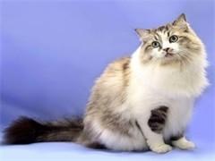 贵阳CFA猫舍繁殖双色布偶猫 甜美品相 性格亲人