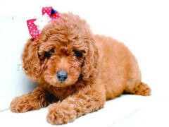 专业繁殖 纯种泰迪幼犬 可来基地挑选 签协议保健康